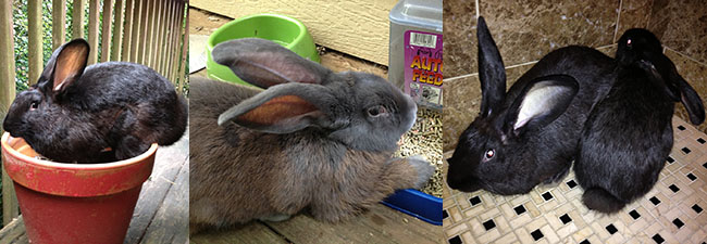 We're Jack, Linc, and Lady. A trio of Flemish Giants!